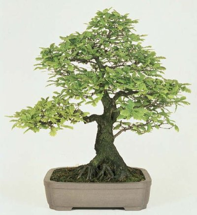 bonsai_oak
